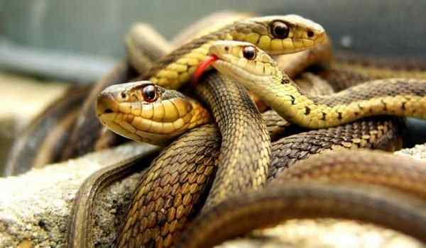 Dream Interpretation, what dreams of snakes: many snakes, snakes in a dream to a woman