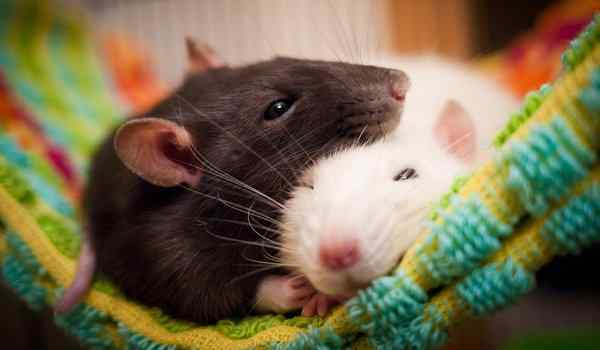 Dream interpretation, what dreams of rats: a man, a woman, a rat bite in a dream