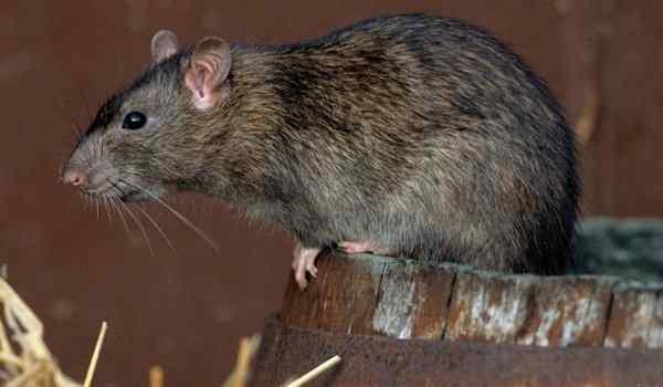 Dream interpretation, what dreams of rats: a man, a woman, a rat bite in a dream