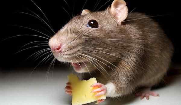 Dreams, what dreams of mice: small, volatile, mice in a dream to a woman