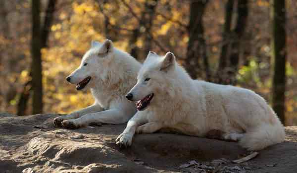 Dream interpretation, what dreams of wolves: a man, a woman, a pack of wolves in a dream