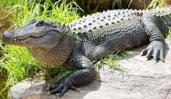 Dream interpretation, what dream of a crocodile: a woman, a man, crocodiles in a dream in the water