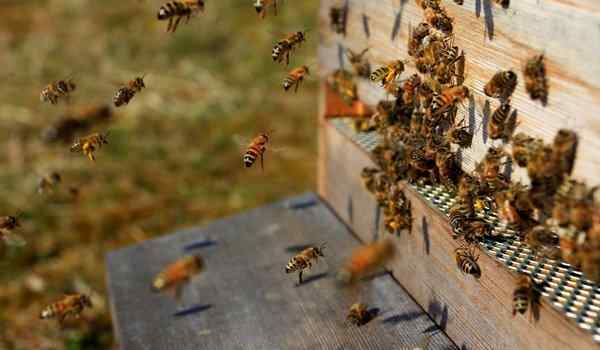 Dream Interpretation, what bees dream about: many bees, bees bite in a dream