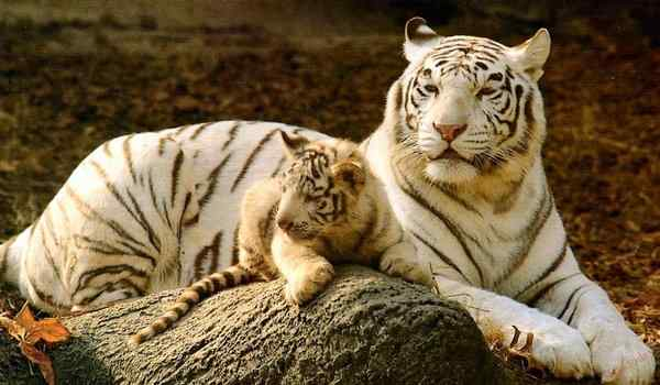 Dream Interpretation, what a tiger dreams: a woman, a man, a white tiger in a dream