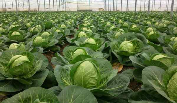 Dream interpretation, why dream cabbage: fresh, in the heads, cabbage in a dream to a woman