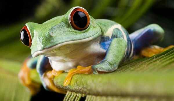 Dream interpretation, what dreams of frogs: big, small, frogs in a dream to a woman