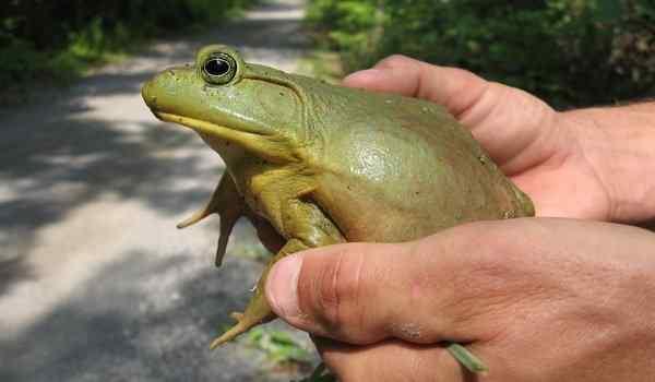 Держать лягушку в руках во сне