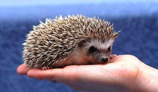 Dream interpretation, why dream of a hedgehog: small, with needles, a hedgehog in a dream to a woman