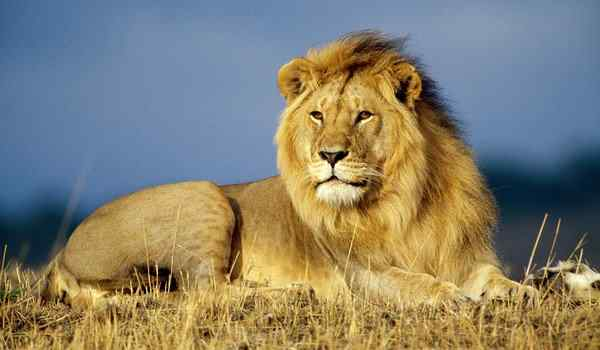 Dream interpretation, what a lion dreams about: a woman, a man, a lion attacks in a dream