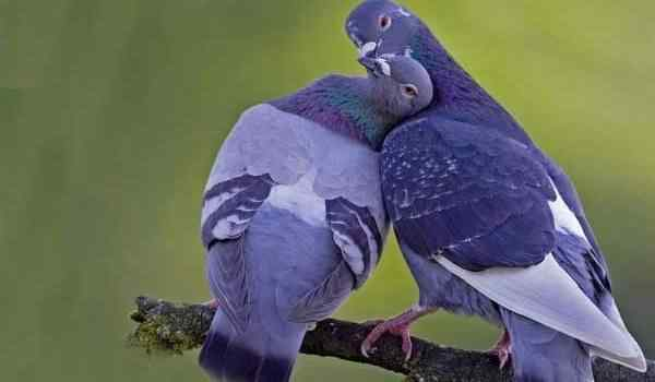 Dream interpretation, what do the pigeons dream of: white, dead, dove in the hands in a dream