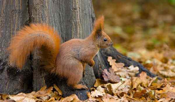 Dream interpretation, what dream squirrel: a woman, red, squirrel in the hands in a dream