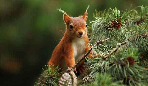 К чему снится рыжая белка в лесу
