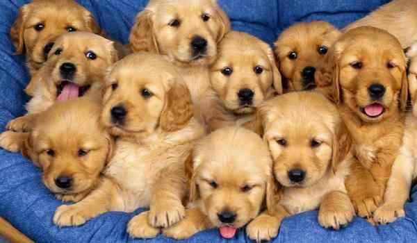 Dream interpretation, what dream of puppies: small, many wives in a dream to a woman
