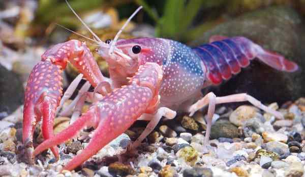 Dream book, what dreams of crayfish: live, boiled, a lot of crayfish in a dream