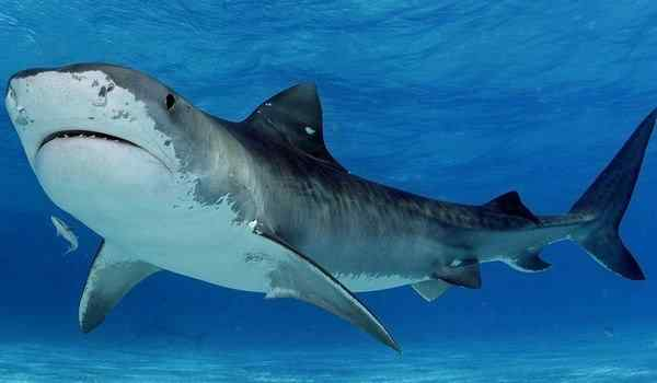 Dream interpretation, why dreams shark: in the water, in the sea, a shark in a dream to a woman