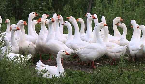 Dream interpretation, what dreams of geese: white, live, geese in a dream to a woman