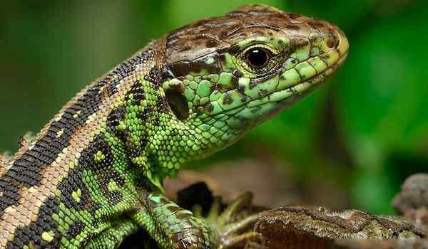 Dream interpretation, what dream lizard: a large, green, lizard in a dream woman