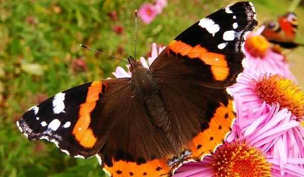 Dream Interpretation, what dreams butterflies: colorful, beautiful, many butterflies in a dream