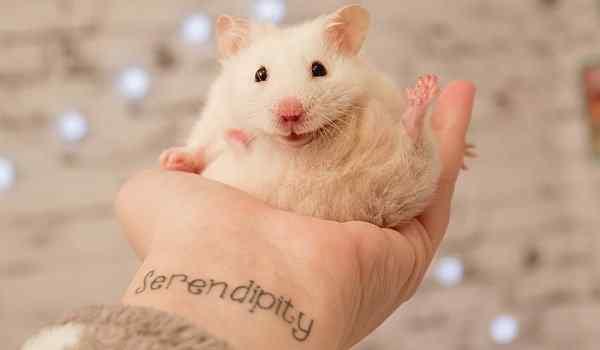Dream interpretation, what dream hamster: a woman, a man, a lot of hamsters in a dream
