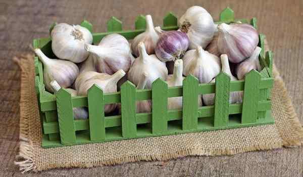 Why dream of garlic: heads, teeth, a lot of garlic in a dream