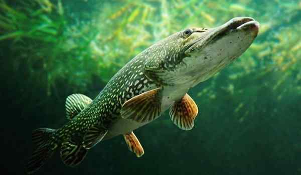 What dreams of pike: big, live, pike in a dream to a woman
