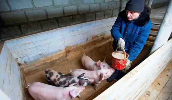 What do the piglets dream of: small, female, many pigs in a dream