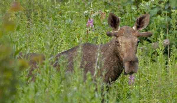 What dreams of elk: woman, man, elk with big horns in a dream