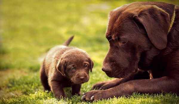 К чему снится большая собака со щенками