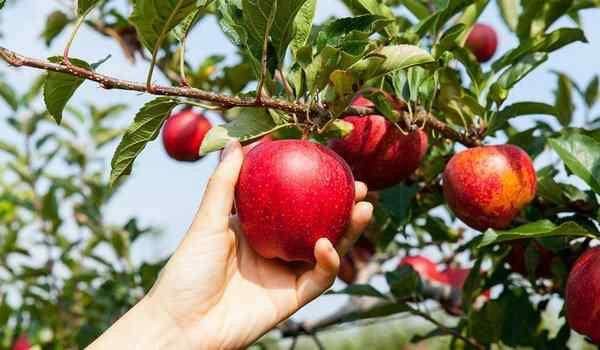 Срывать яблоко с дерева во сне