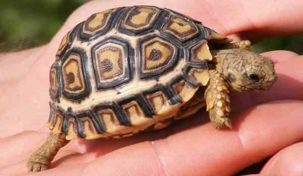 К чему снится большая черепаха женщине thumbnail