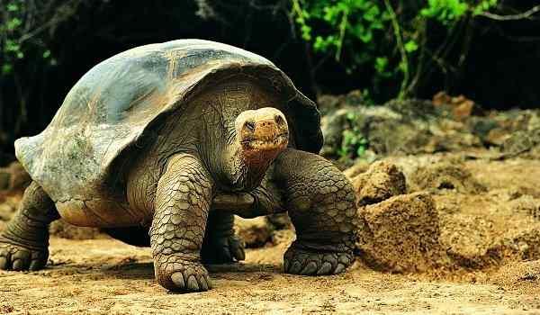 Большая черепаха во сне