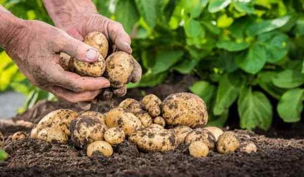 К чему снится сажать картошку