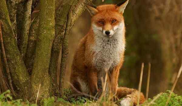 К чему снится красивая лиса