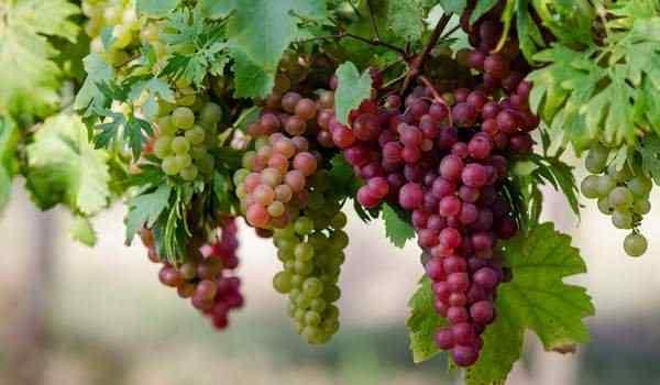 К чему снится красный виноград