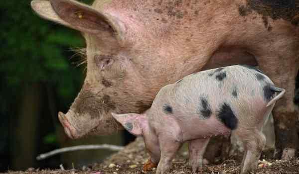 К чему снятся свинья с поросенком
