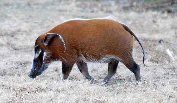 Дикая свинья во сне