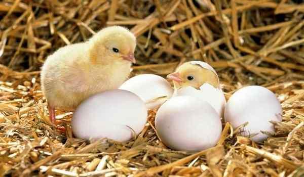 Вылупившиеся цыплята во сне