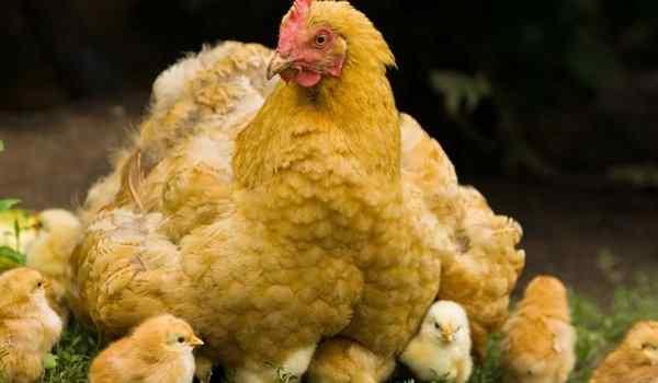 Только вылупившихся цыплят видеть во сне thumbnail
