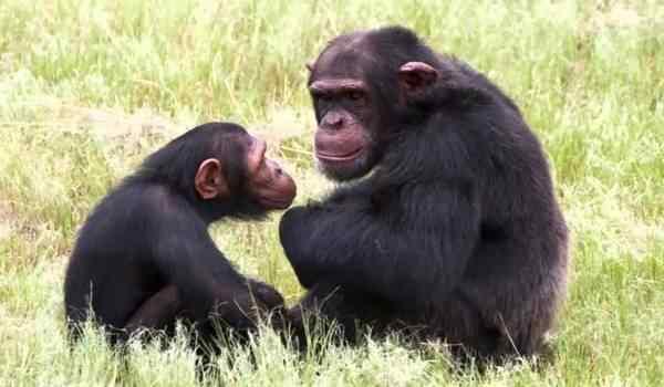 К чему снится маленькая обезьяна с мамой