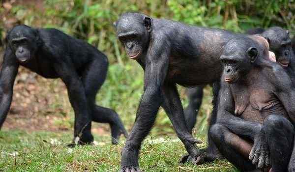 К чему снится много обезьян