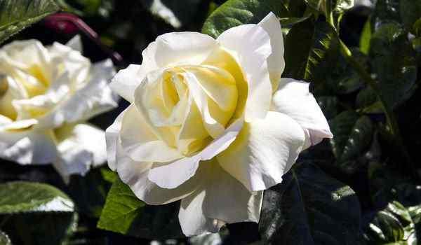 Две белые розы во сне