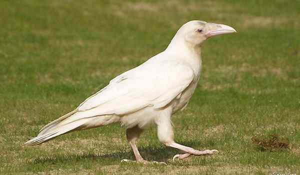 Белая ворона во сне