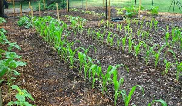 Посадить кукурузу